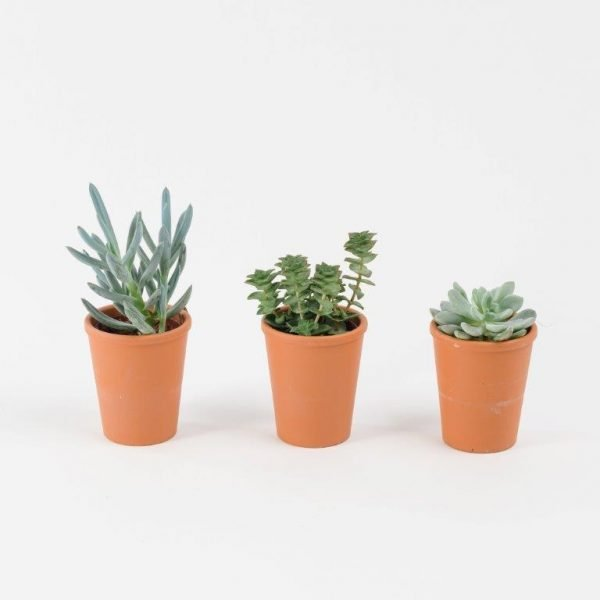 Mini Trio Succulent From Your Flower Story London - Send Flowers in Barnet and North London